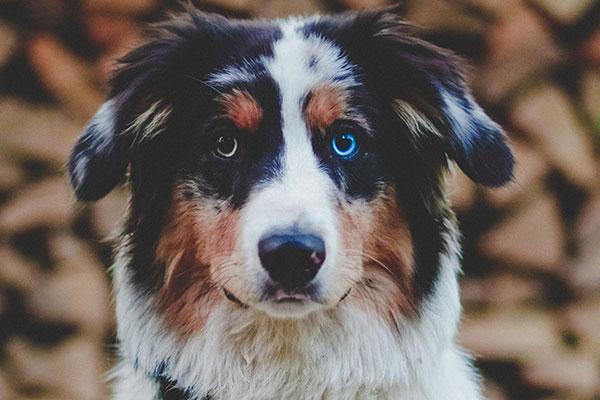 How do I get my Australian Shepherd to stop barking?