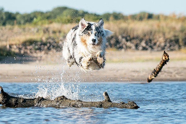 How much exercise does an Australian Shepherd need?