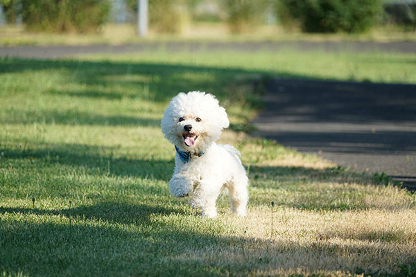 Why is my Bichon Frise shaking?