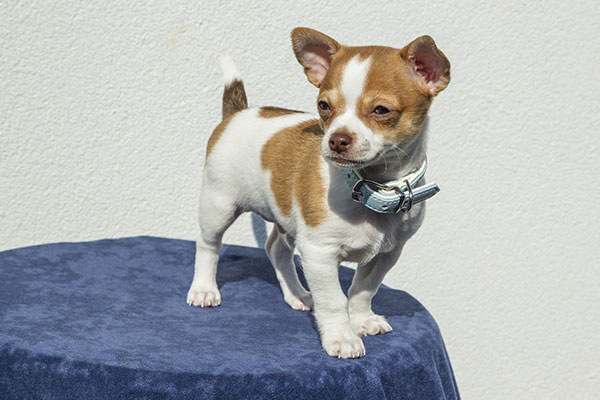 What does chihuahua mean in Spanish?