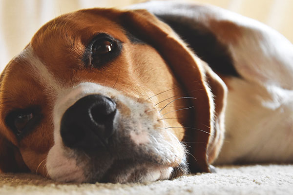 How to get my Beagle to quit whining?