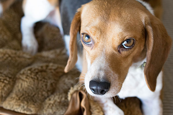 How much should a Beagle eat?