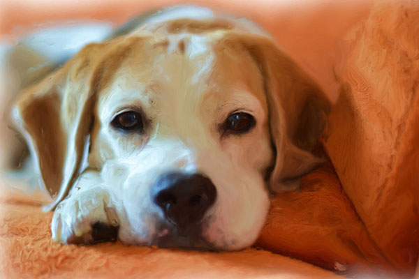 How much to feed a beagle puppy?