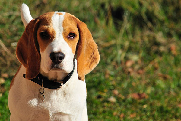 How do I get my beagle to stop barking?