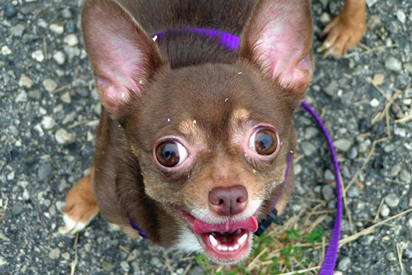 How to stop a chihuahua from barking?
