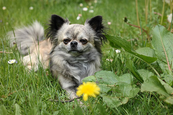 How long can a chihuahua hold its bladder?