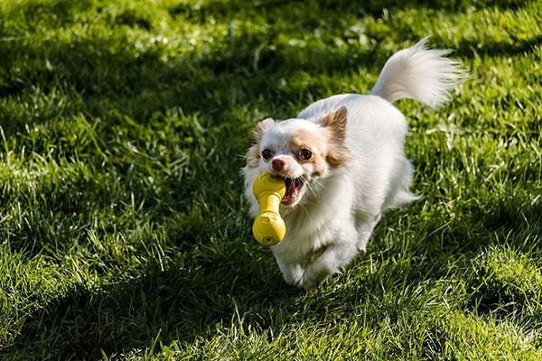 How fast can a chihuahua run?