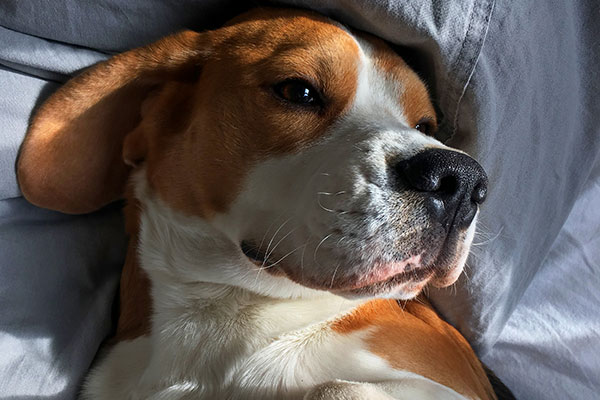 What size crate for a Beagle?