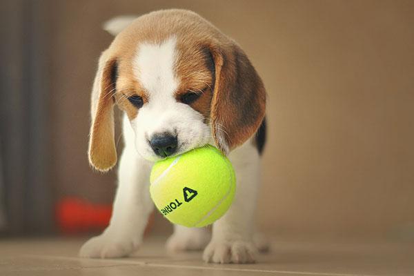 How do you entertain a Beagle?