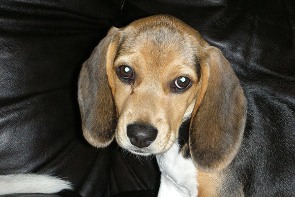 What should I feed my Beagle puppy?