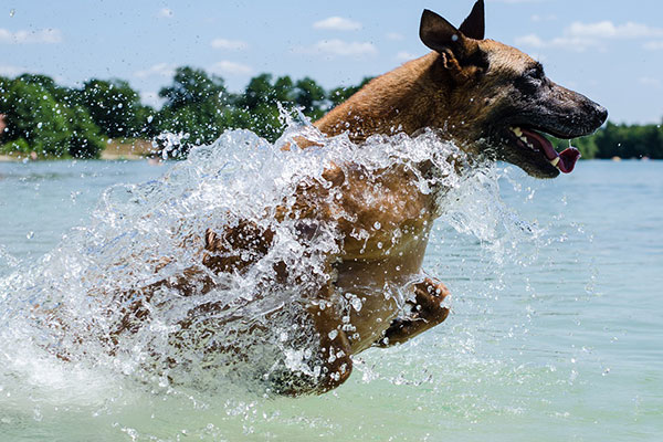 How much should I feed my Belgian Malinois?