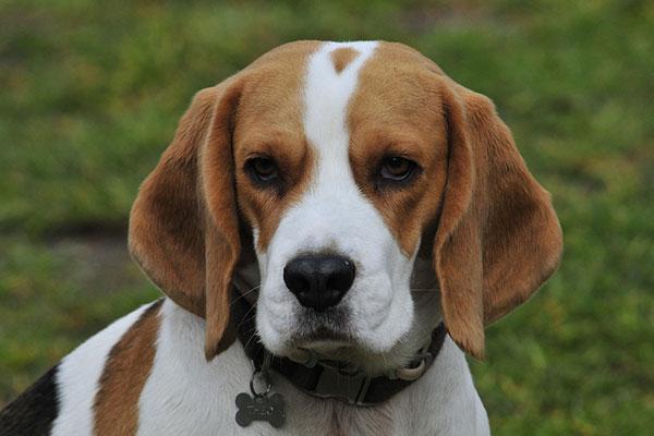 How do you groom a beagle?
