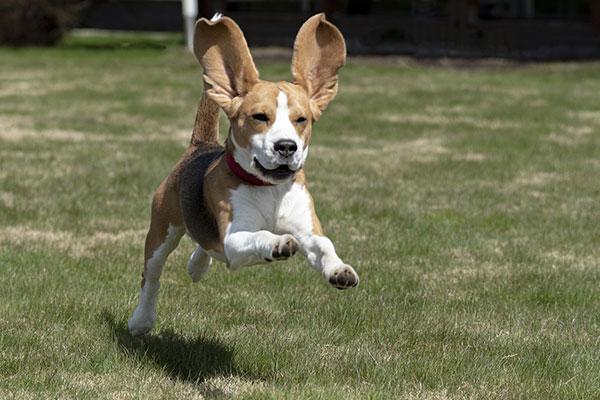 How long do you need to walk a beagle?