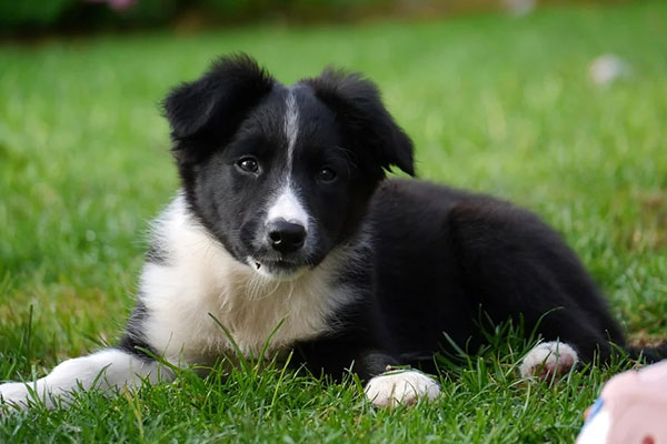 How much to feed a ten week old border collie?
