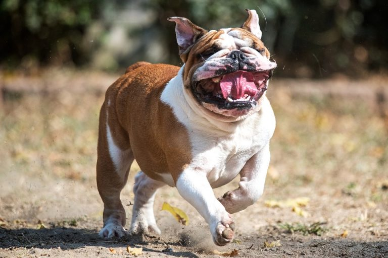 How Do You Calm down a Bulldog