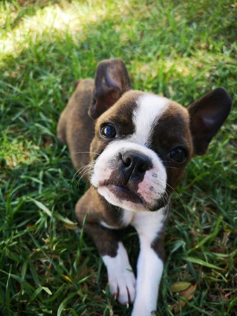 How Do You Potty Train a Boston Terrier