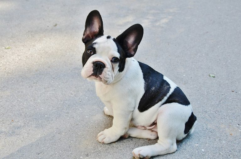 How Much to Feed a French Bulldog