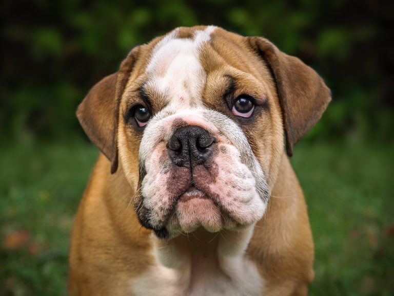 How to Clean English Bulldog Tear Stains