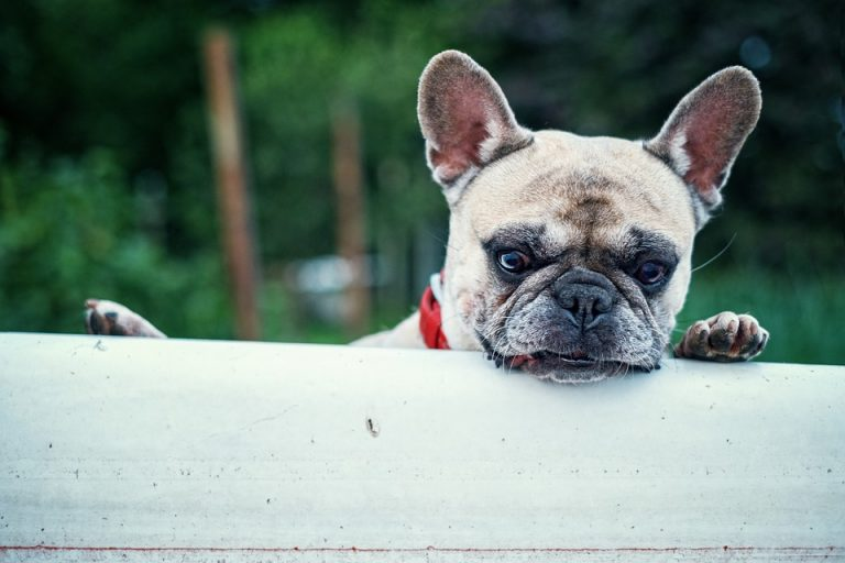How to Get Your French Bulldog Puppy to Stop Biting