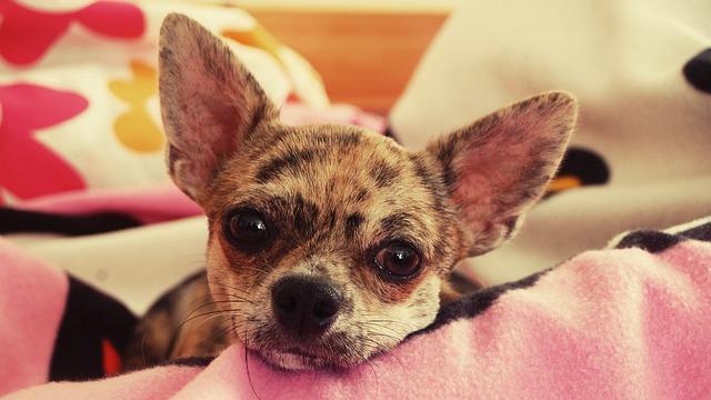 Merle-Chihuahua