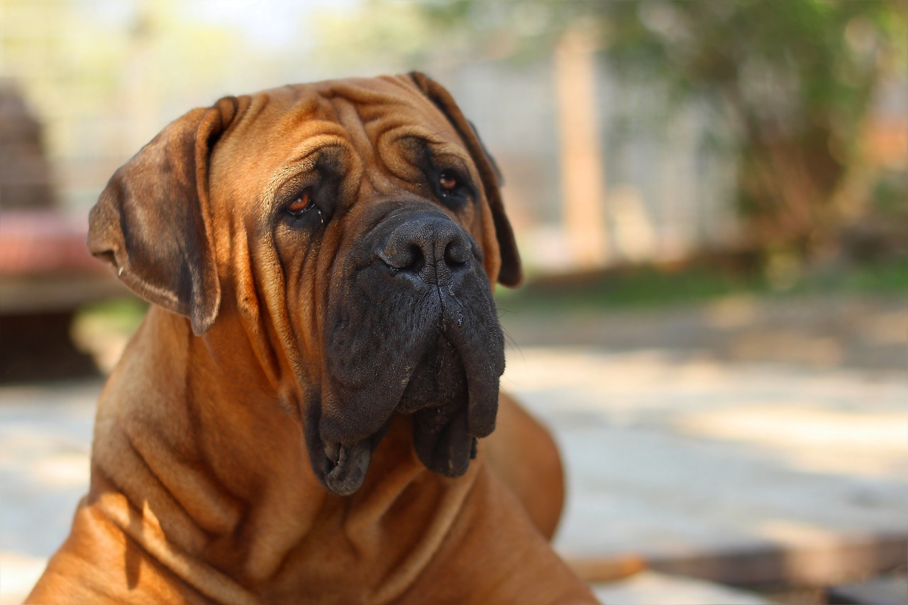 What Is the Difference Between Boerboel and Bullmastiff