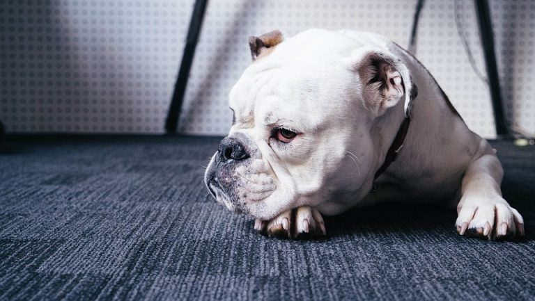 What Is the Oldest Living Bulldog