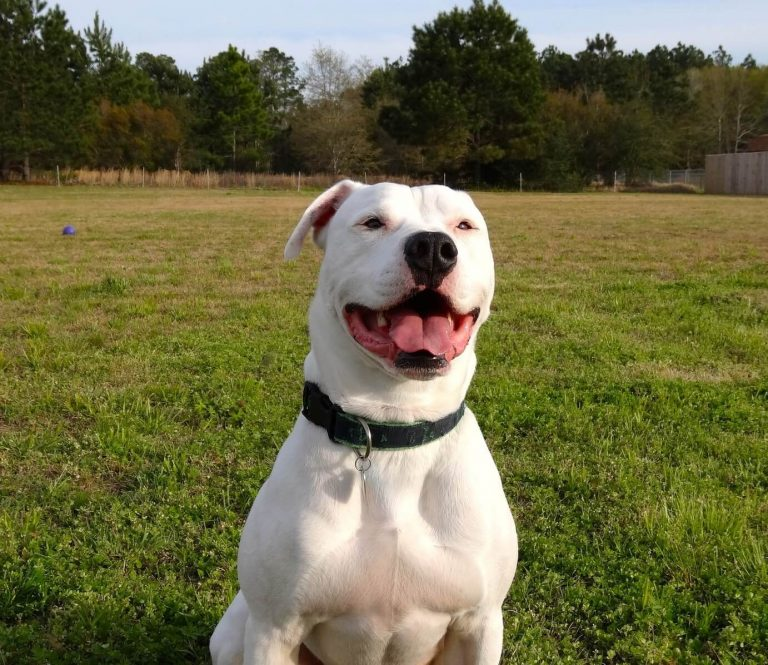 How to Train an American Bulldog