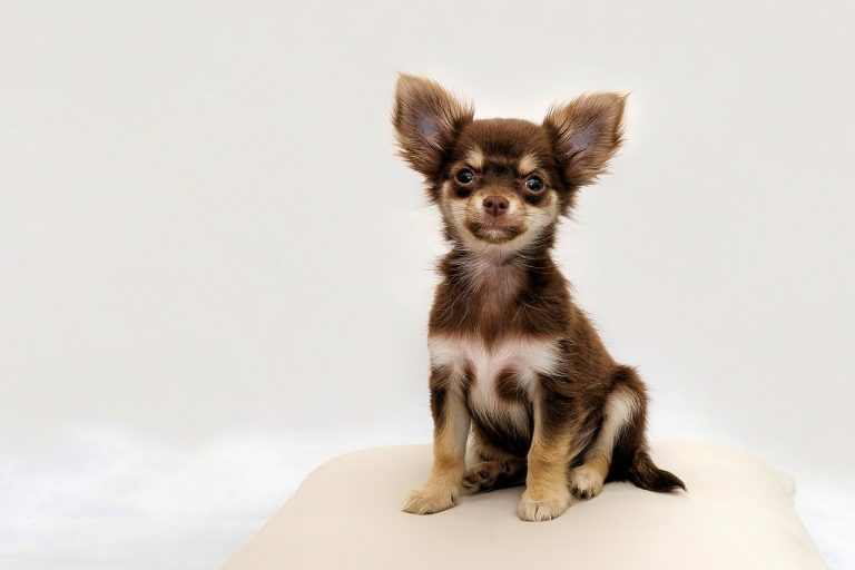 Everything to Know About the Chihuahua