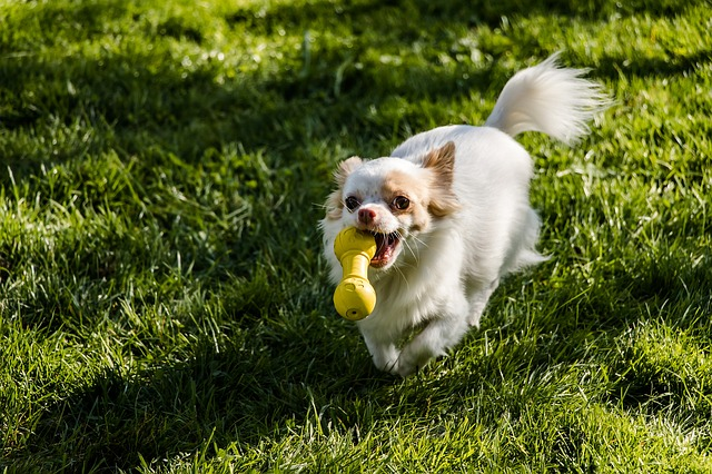 Just like children, Chihuahuas also love to play