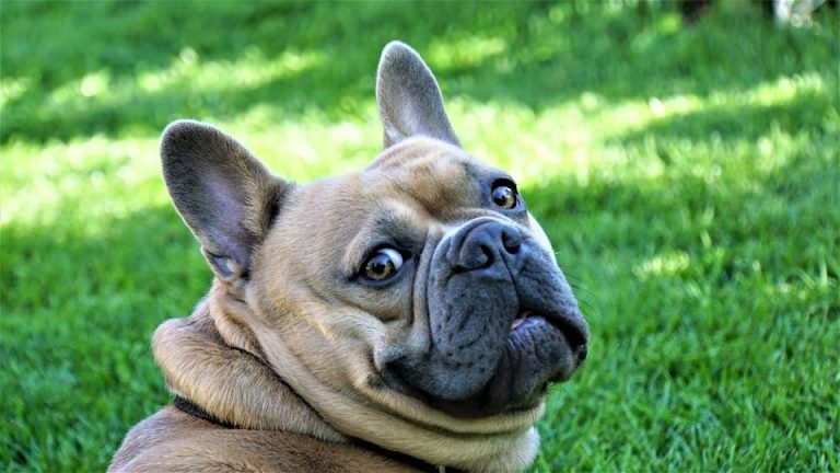 How Do You Teach a French Bulldog Not to Bite