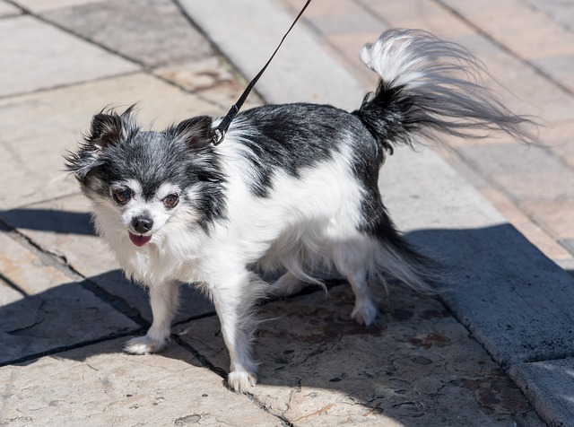 Long Coat or Long Haired Chihuahua